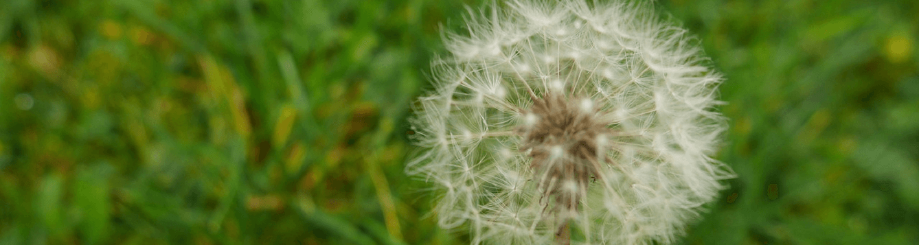 herbicides and cultural practices can take care of weeds like this dandelion