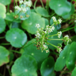 Questions From The Plant Clinic: Dollarweed - UF/IFAS Extension ...