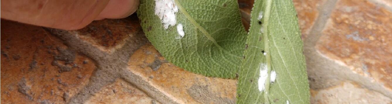 Mealybugs on sage leaves