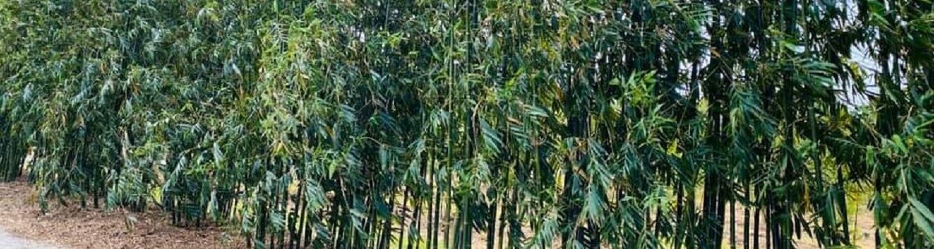 A hedgeline of bamboo