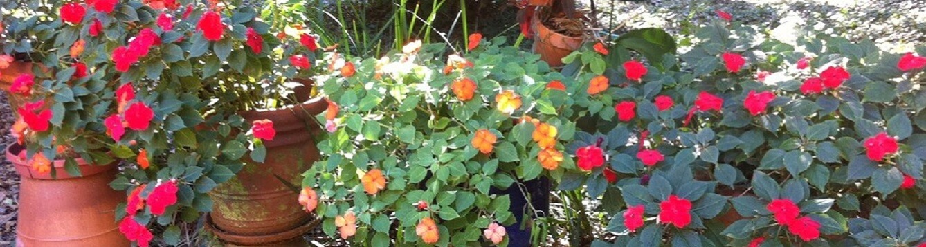 Image of red, orange, and pink impatiens in terracotta pots