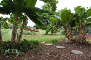 Banana trees in landscape