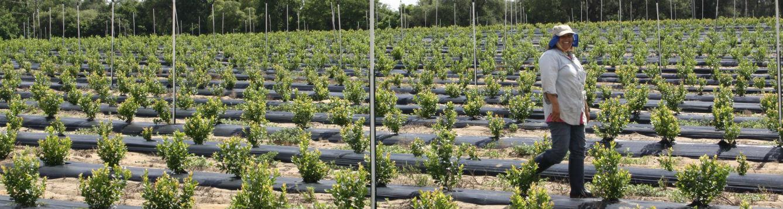 Worker in blueberry field