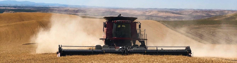 A combine harvesting wheat