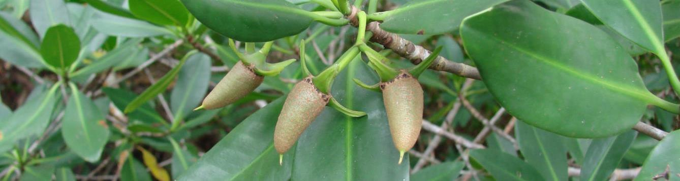 Red mangrove propagules look like stubby cigars