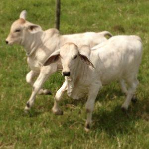 Calves running