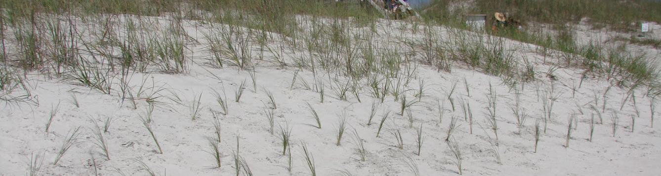 Newly-planted sea oats at a beach