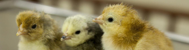 3 yellow baby chicks
