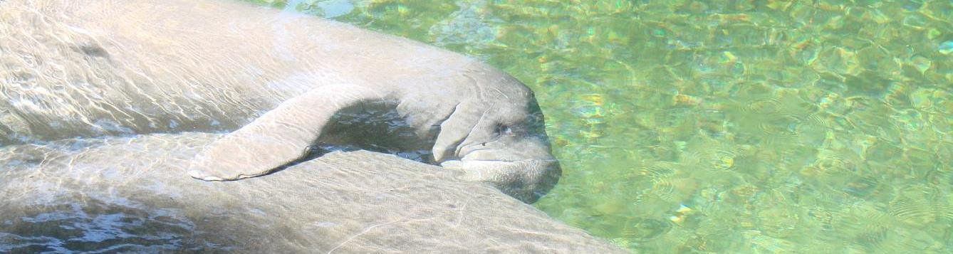 a young manatee nursing from its mother