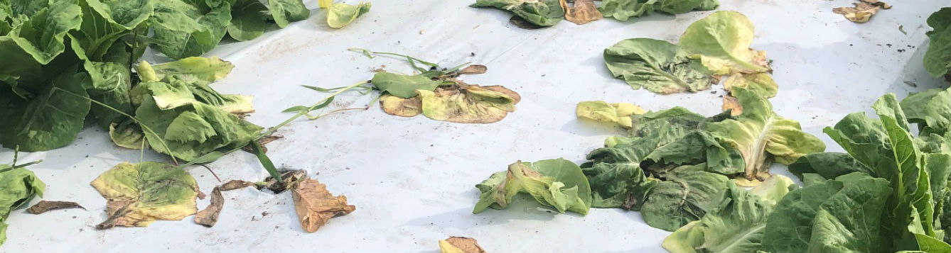 Brassica, southern blight