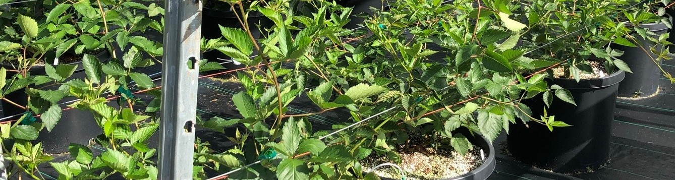 Containerized blackberries