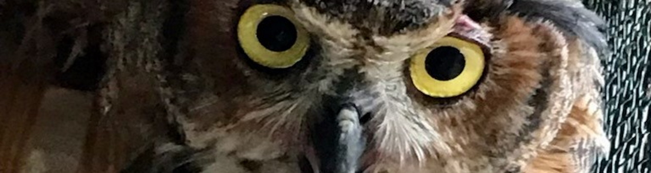 Owl eyes and bill