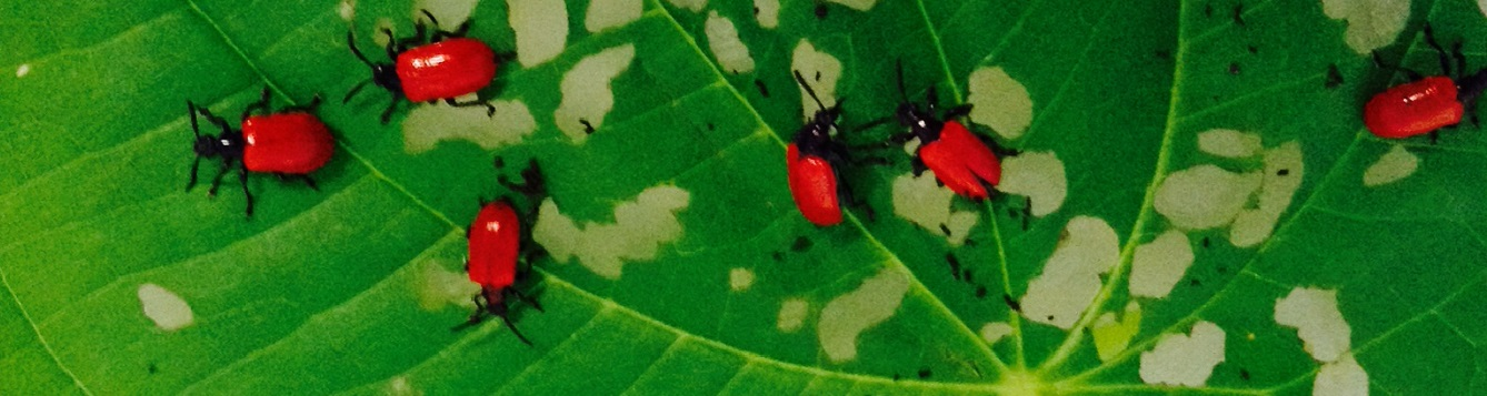 Air Potato Leaf Beetles