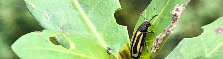 Alligatorweed Flea Beetle