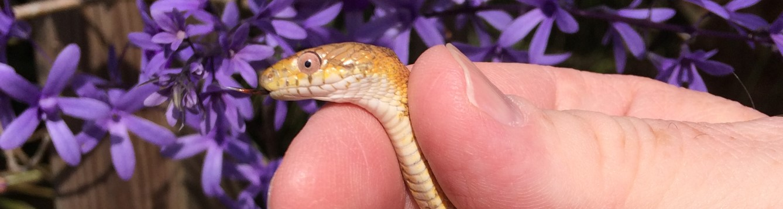Nonvenomous Rat Snake