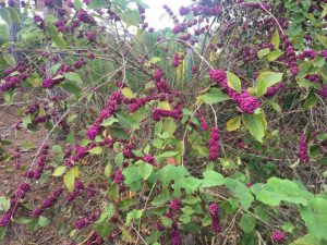 shrub with purple berries