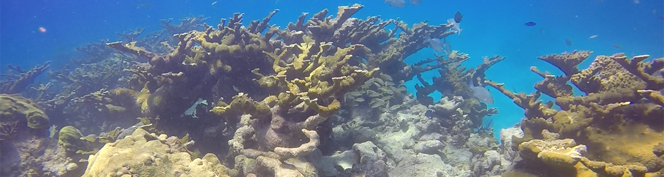 Acropora coral in FL Keys