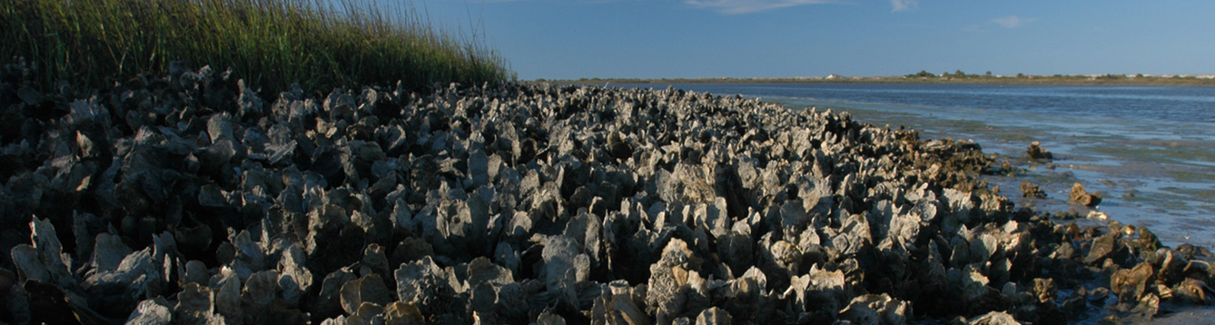 oyster beds at Anastasia State Park