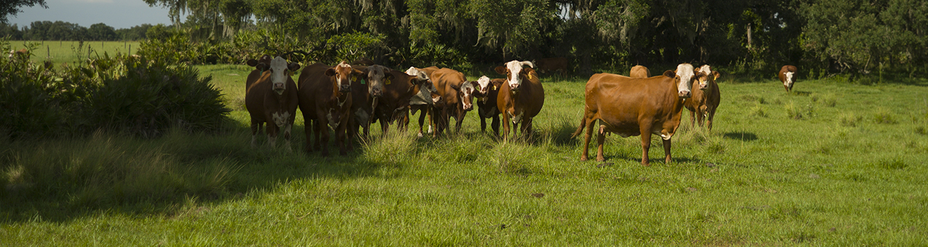Cattle grazing in a beef cattle pasure at the Range Cattle Research and Education Center in Ona, Florida.