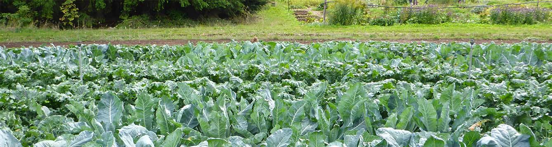 small field of lettuce
