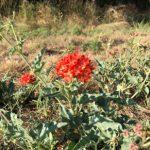 red wildflower Devil's Bouquet