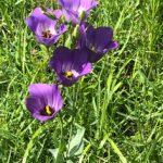 Texas Bluebells wildflowers