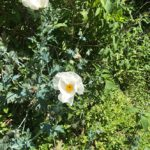 White Prickly-Poppy wildflower