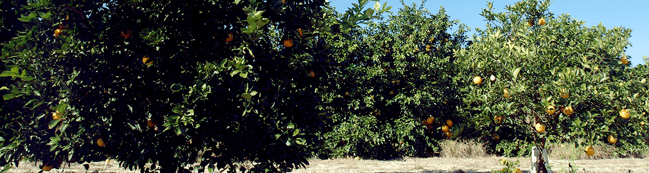 citrus trees at UF/IFAS Citrus Research and Education Center