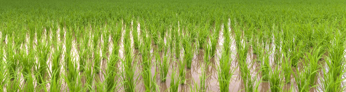 rice field with young rice plants growing