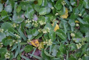 Dollarweed growing in turf grass