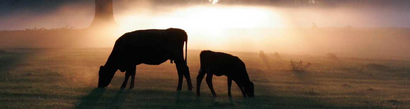 cattle grazing at sunrise