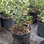 small holly plants in pots