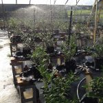Irrigation simulating rain event over holly plants