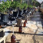 Holly plants in pots with runoff collection containers underneath