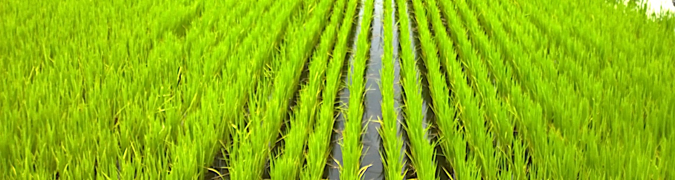field of rice in Florida