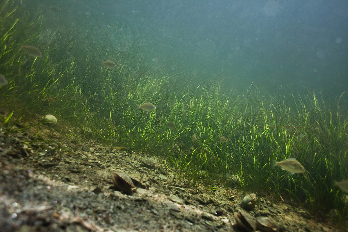 Scallops on the ocean floor off of the coast of Cedar Key, Florida