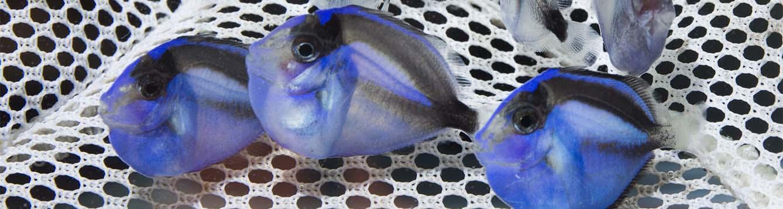 Juvenile blue tangs