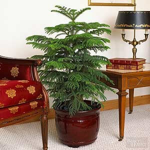Norfolk Island Pine as a House Plant