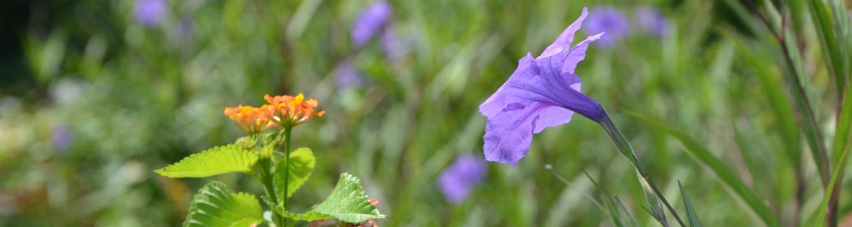 lantana-mexican-petunia-are-invasives
