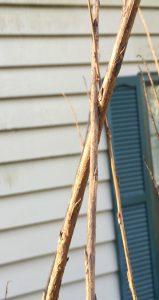 Crepe Myrtle UF/IFAS Wakulla County Master Gardener
