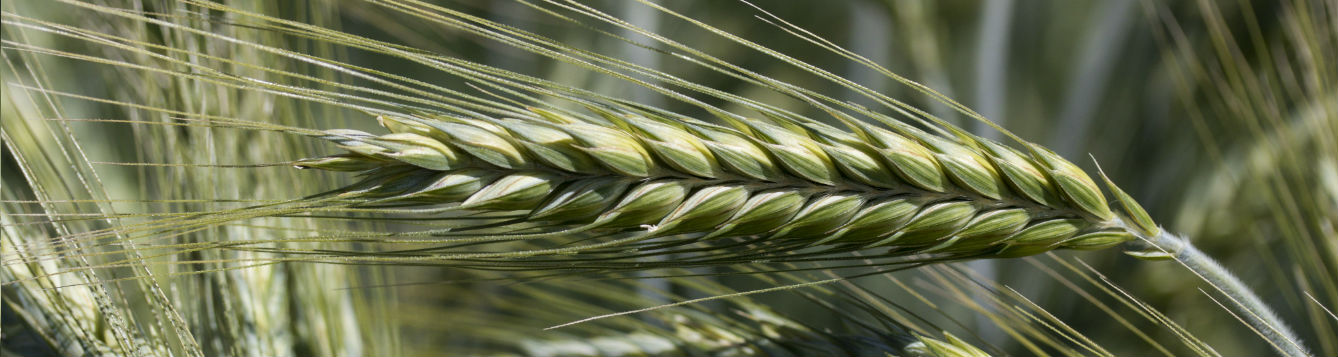 picture of wheat