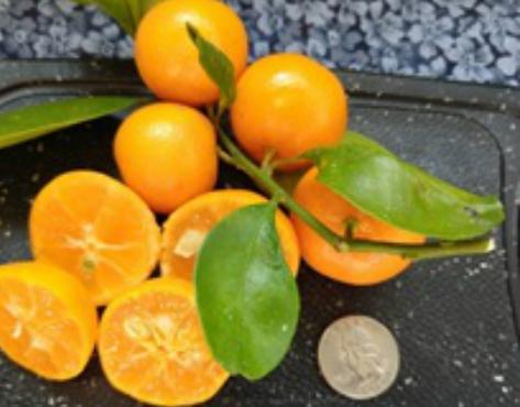 Calamondin fruit insert