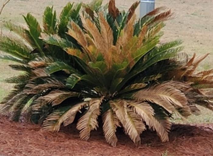 Sago palm image 2 (1)