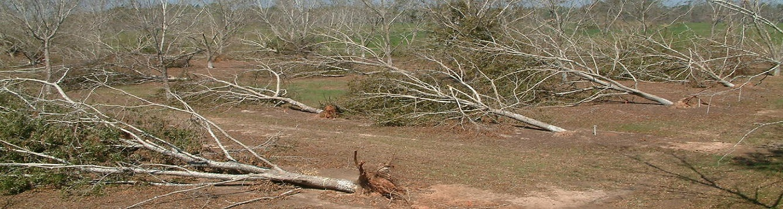 Pecan trees and hurricane damage
