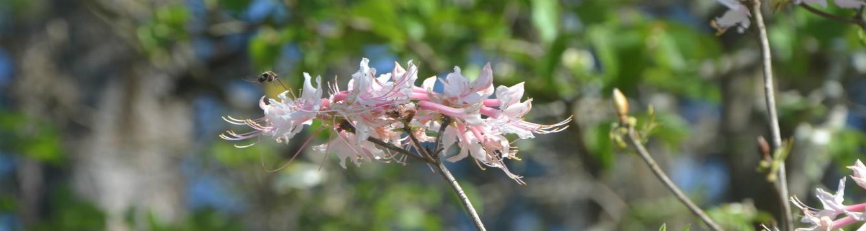 Azaleas and bee